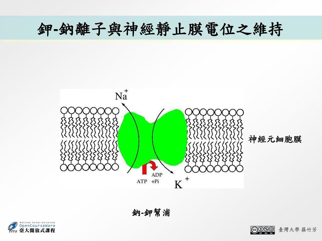 鉀-鈉離子與神經靜止膜電位之維持 神經元細胞膜 鈉-鉀幫浦 臺灣大學 羅竹芳 11