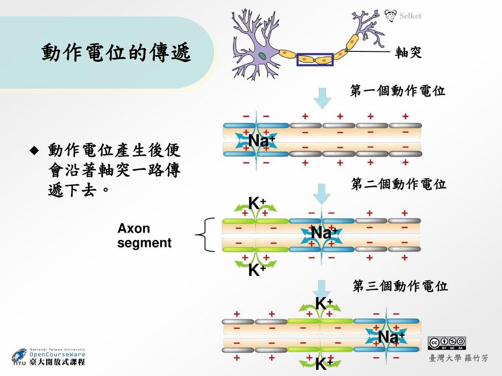 動作電位的傳遞 Na+ 動作電位產生後便會沿著軸突一路傳遞下去。 K+ Na+ K+ K+ Na+ K+ 軸突 第一個動作電位