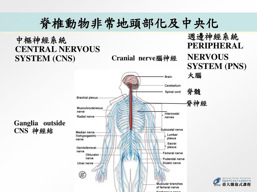 脊椎動物非常地頭部化及中央化 週邊神經系統PERIPHERAL 中樞神經系統 CENTRAL NERVOUS SYSTEM (CNS)