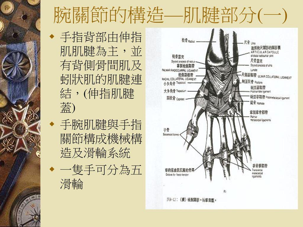 腕關節的構造—肌腱部分(一) 手指背部由伸指肌肌腱為主,並有背側骨間肌及蚓狀肌的肌腱連結,(伸指肌腱蓋)