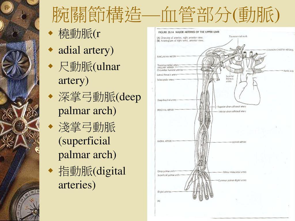腕關節構造—血管部分(動脈) 橈動脈(r adial artery) 尺動脈(ulnar artery)