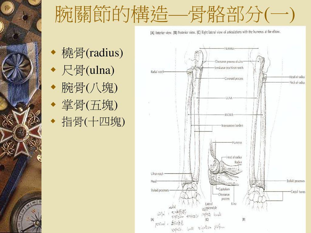 腕關節的構造—骨骼部分(一) 橈骨(radius) 尺骨(ulna) 腕骨(八塊) 掌骨(五塊) 指骨(十四塊)