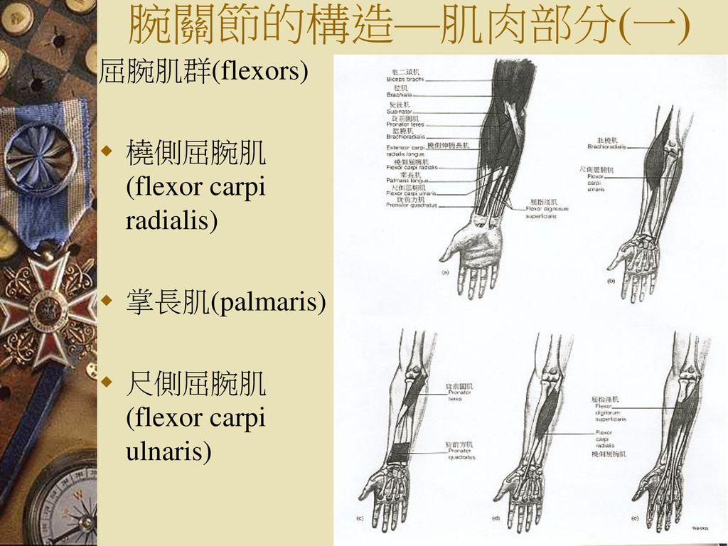 腕關節的構造—肌肉部分(一) 屈腕肌群(flexors) 橈側屈腕肌(flexor carpi radialis)
