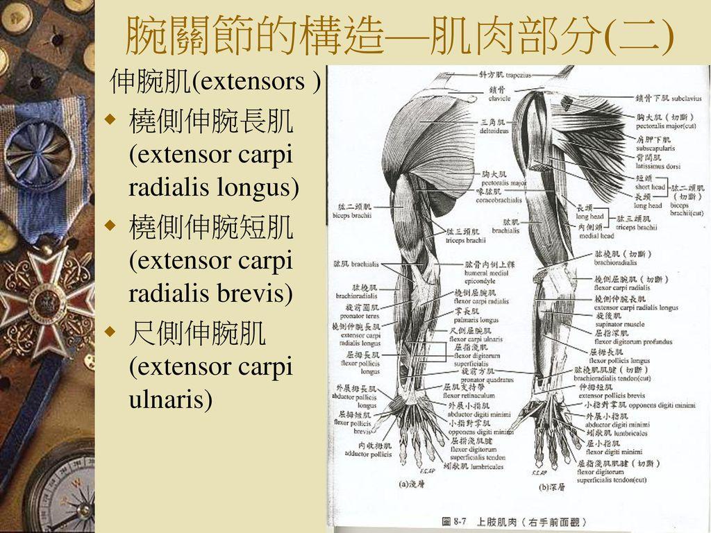 腕關節的構造—肌肉部分(二) 伸腕肌(extensors ) 橈側伸腕長肌(extensor carpi radialis longus)