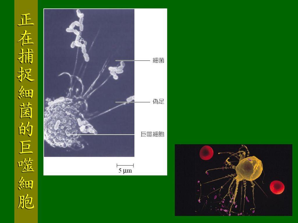 正在捕捉細菌的巨噬細胞