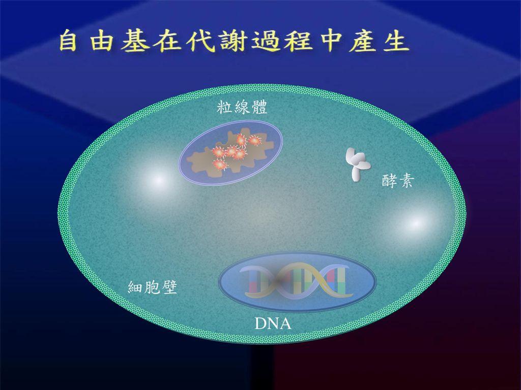 粒線體 DNA 酵素 細胞壁
