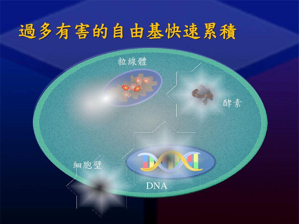 過多有害的自由基快速累積 粒線體 DNA 酵素 細胞壁
