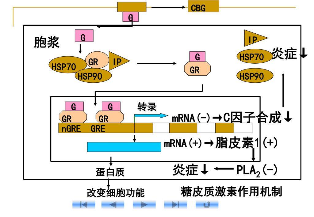 胞浆 炎症↓ 炎症↓ PLA2(-) mRNA(-)→C因子合成↓ mRNA(+)→脂皮素1(+) 糖皮质激素作用机制 CBG G
