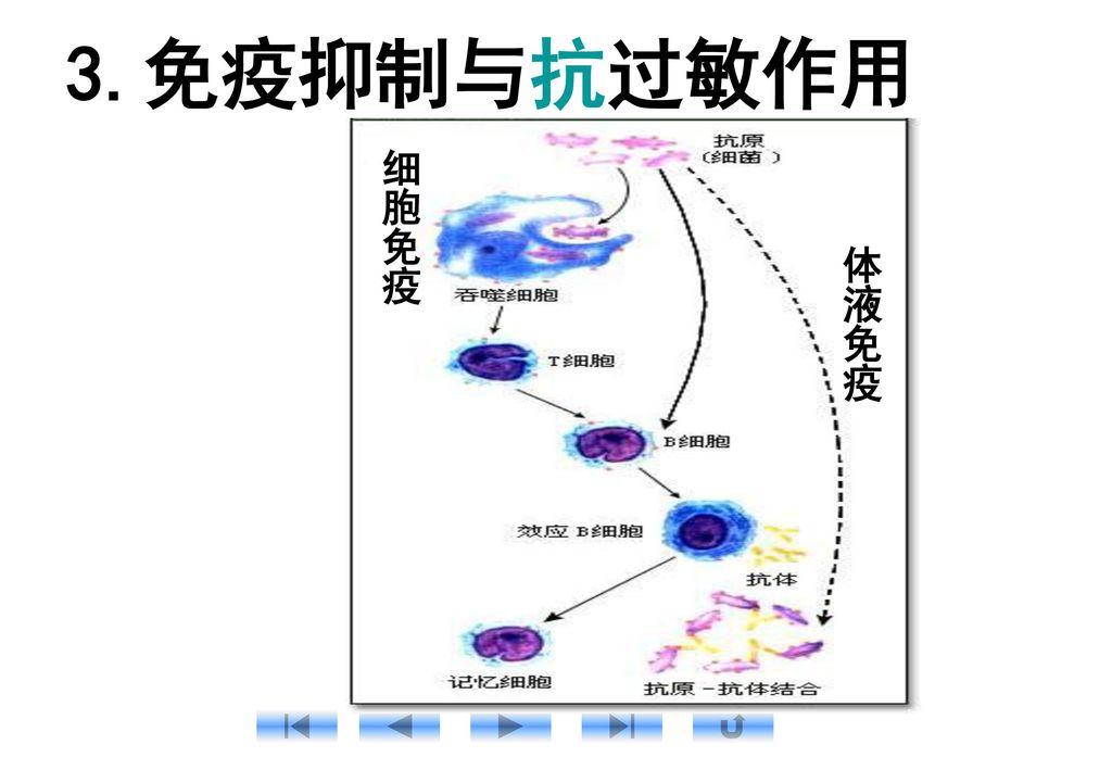 3.免疫抑制与抗过敏作用 细胞免疫 体液免疫