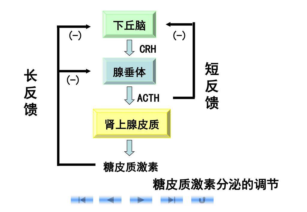 下丘脑 腺垂体 肾上腺皮质 糖皮质激素分泌的调节 CRH ACTH 短 反 馈 长 (-) 糖皮质激素