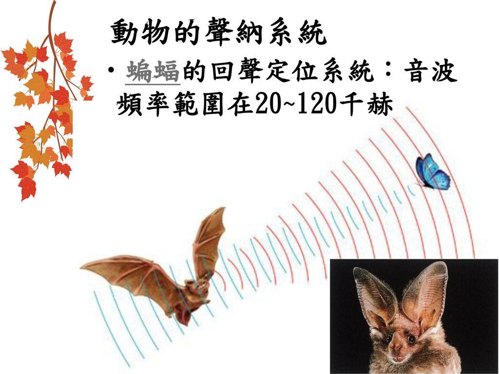 動物的聲納系統 蝙蝠的回聲定位系統:音波頻率範圍在20~120千赫