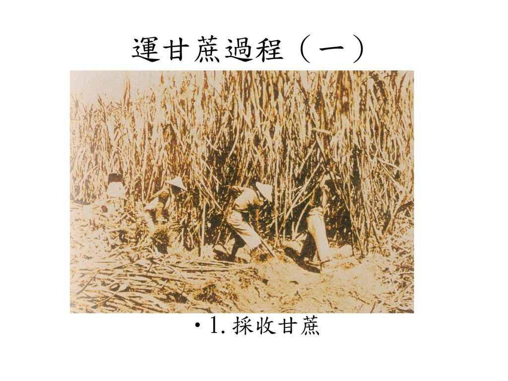 運甘蔗過程(一) 1.採收甘蔗