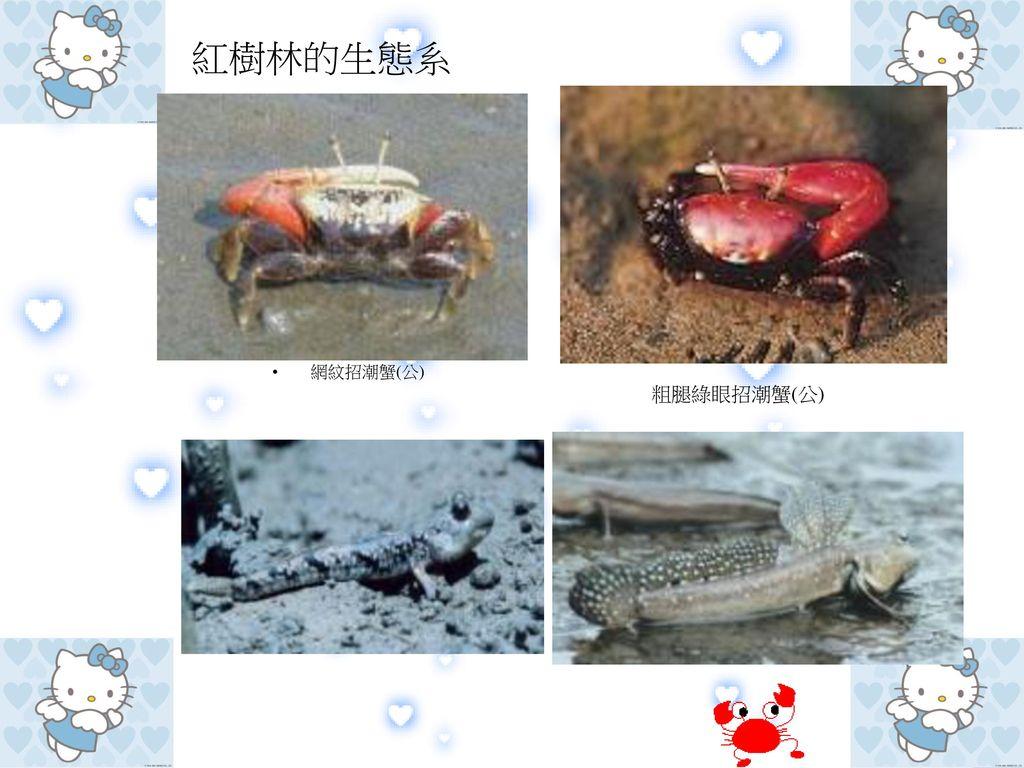 紅樹林的生態系 網紋招潮蟹(公) 粗腿綠眼招潮蟹(公)