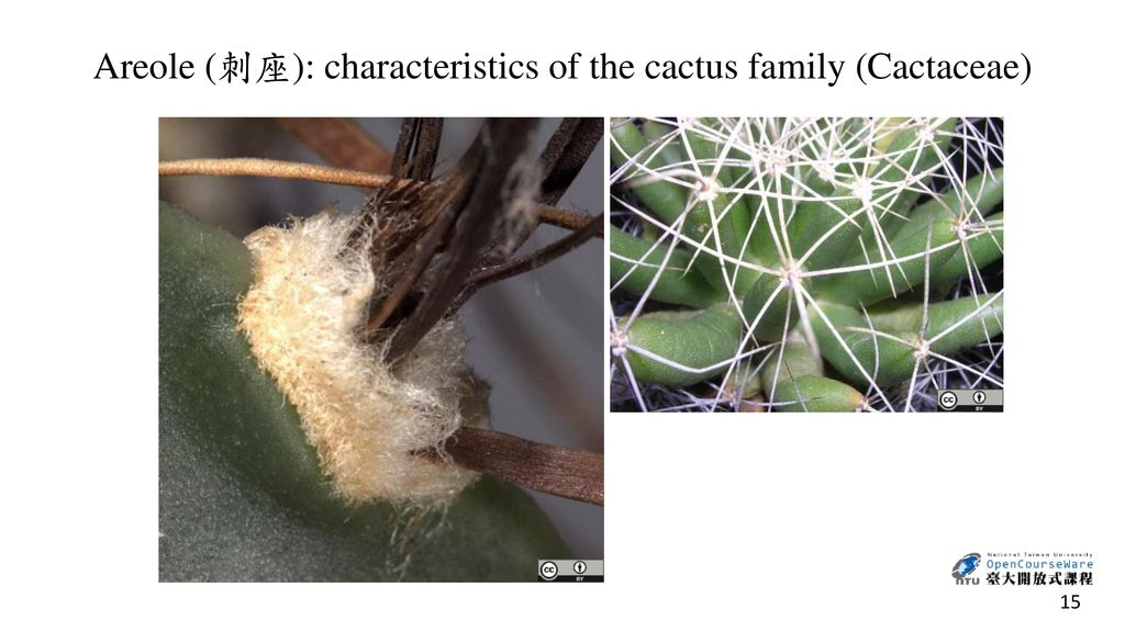 Areole (刺座): characteristics of the cactus family (Cactaceae)