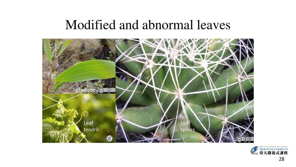 Modified and abnormal leaves
