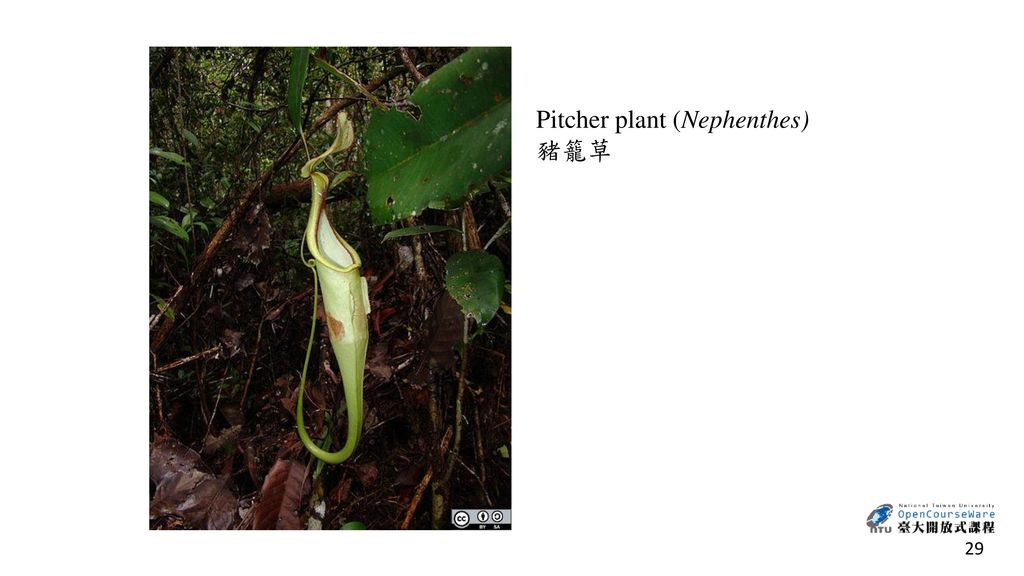 Pitcher plant (Nephenthes)
