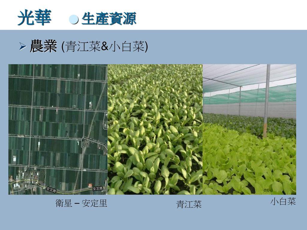光華 ● 生產資源 農業 (青江菜&小白菜) 衛星 – 安定里 小白菜 青江菜