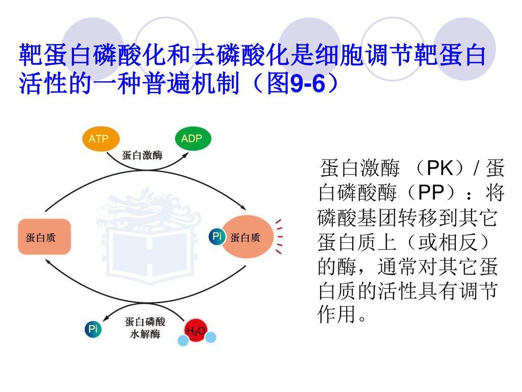 靶蛋白磷酸化和去磷酸化是细胞调节靶蛋白活性的一种普遍机制(图9-6)