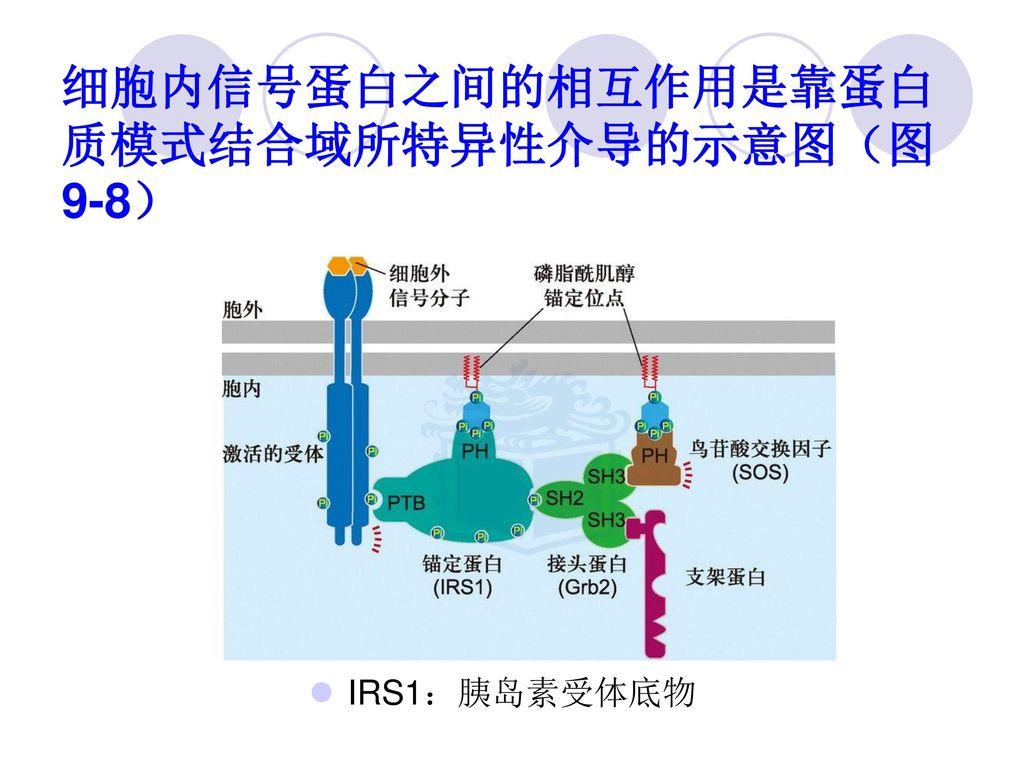 细胞内信号蛋白之间的相互作用是靠蛋白质模式结合域所特异性介导的示意图(图9-8)