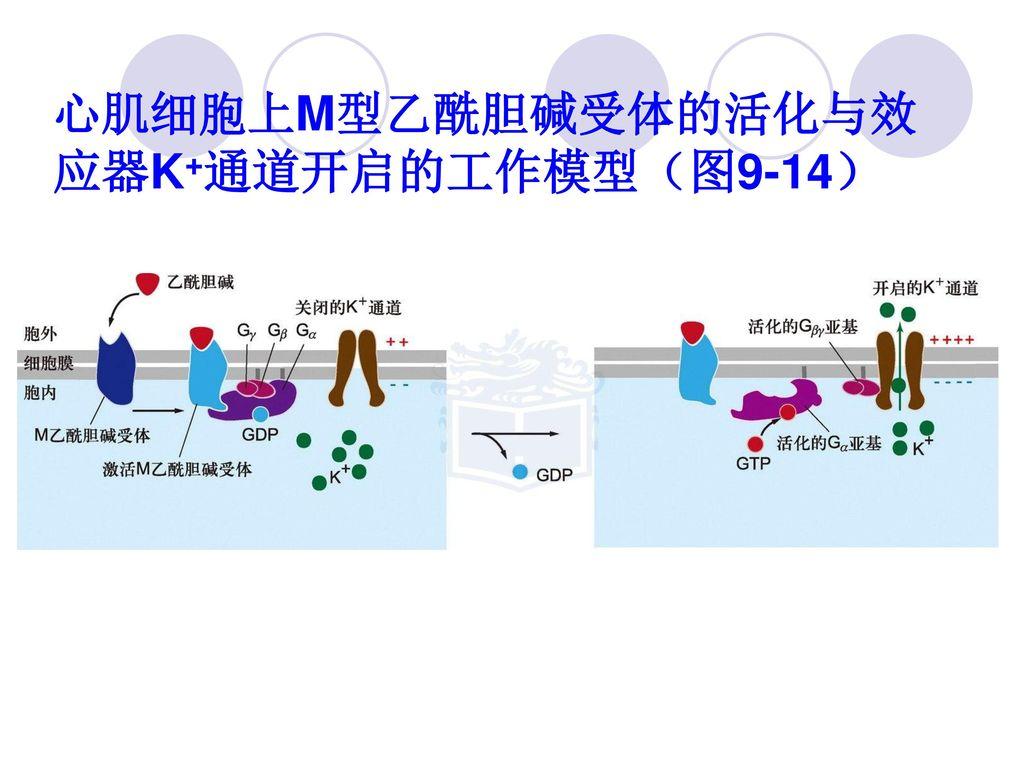 心肌细胞上M型乙酰胆碱受体的活化与效应器K+通道开启的工作模型(图9-14)