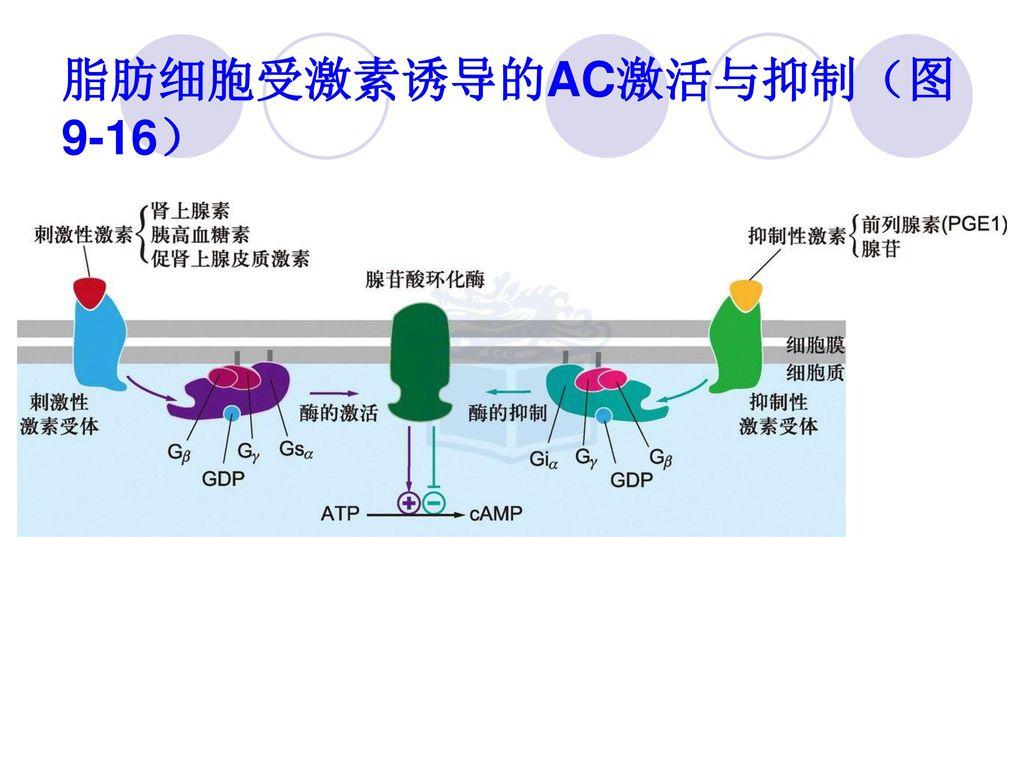 脂肪细胞受激素诱导的AC激活与抑制(图9-16)