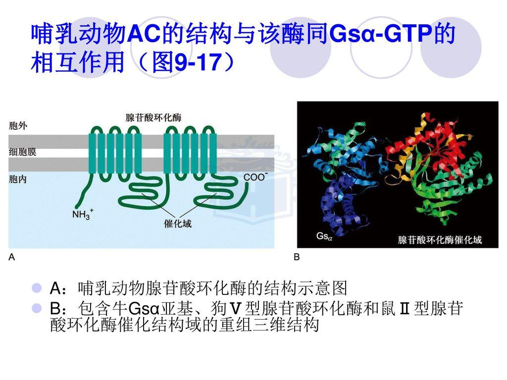 哺乳动物AC的结构与该酶同Gsα-GTP的相互作用(图9-17)