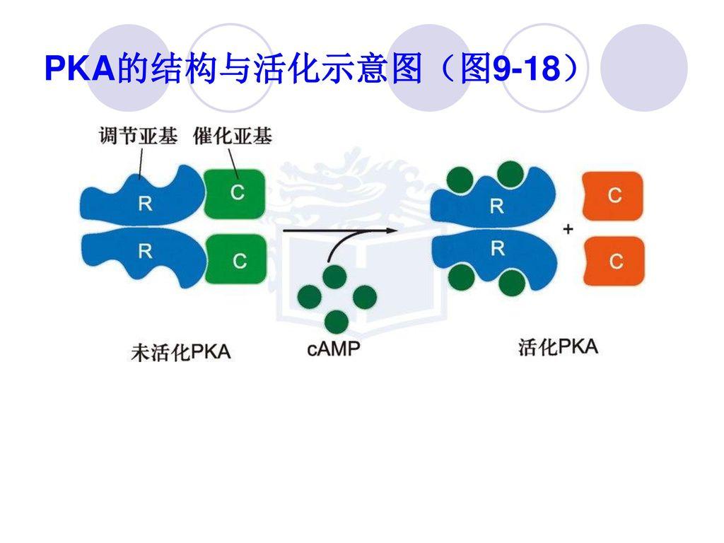 PKA的结构与活化示意图(图9-18)