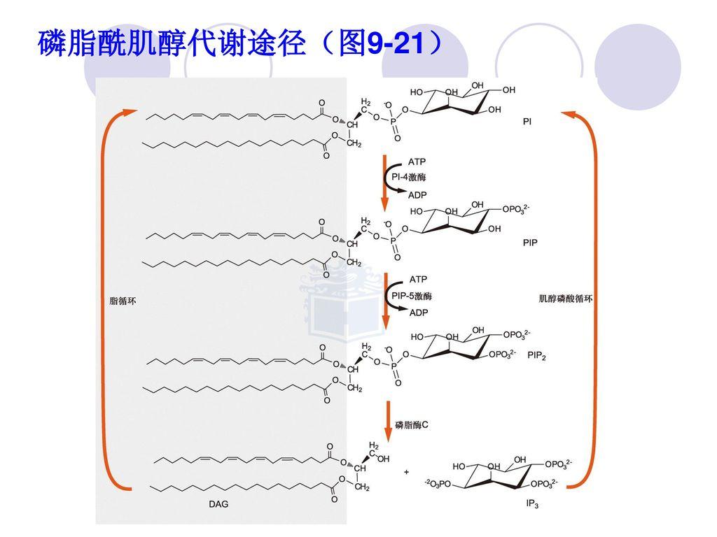 磷脂酰肌醇代谢途径(图9-21)