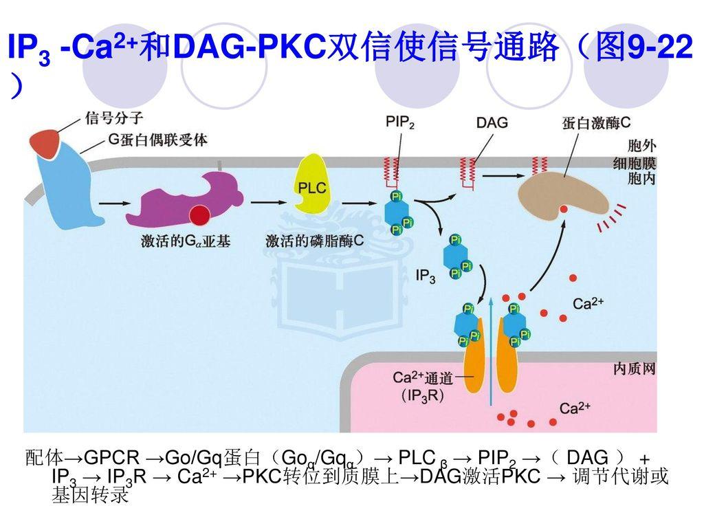 IP3 -Ca2+和DAG-PKC双信使信号通路(图9-22)