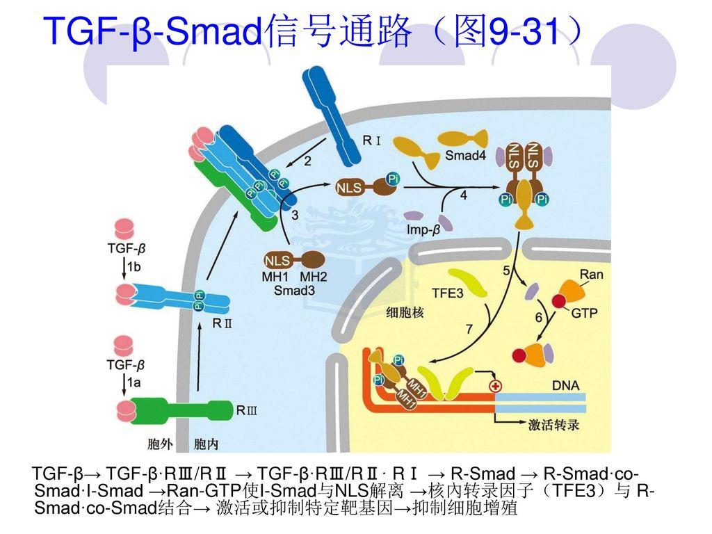 TGF-β-Smad信号通路(图9-31)