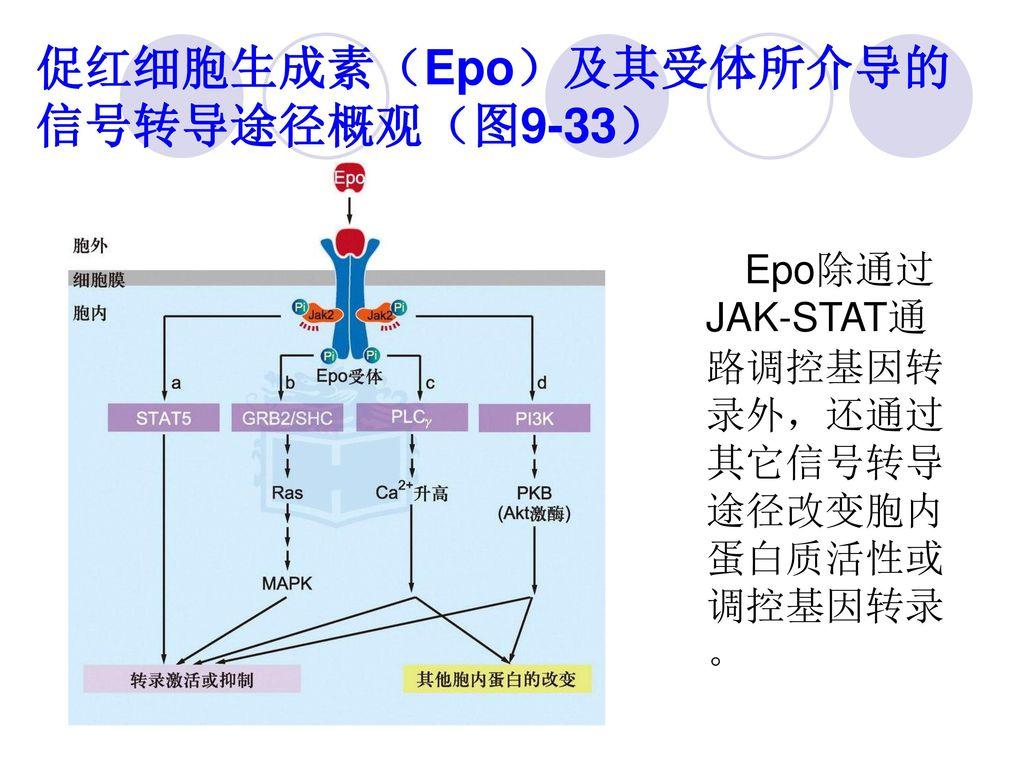 促红细胞生成素(Epo)及其受体所介导的信号转导途径概观(图9-33)