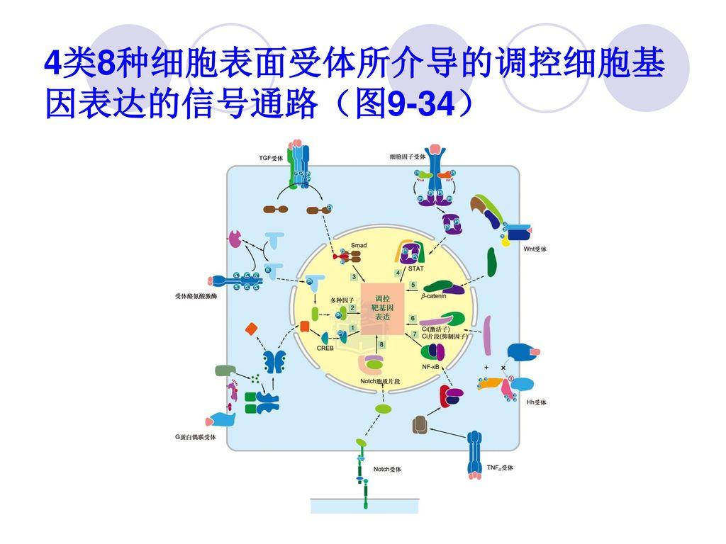 4类8种细胞表面受体所介导的调控细胞基因表达的信号通路(图9-34)