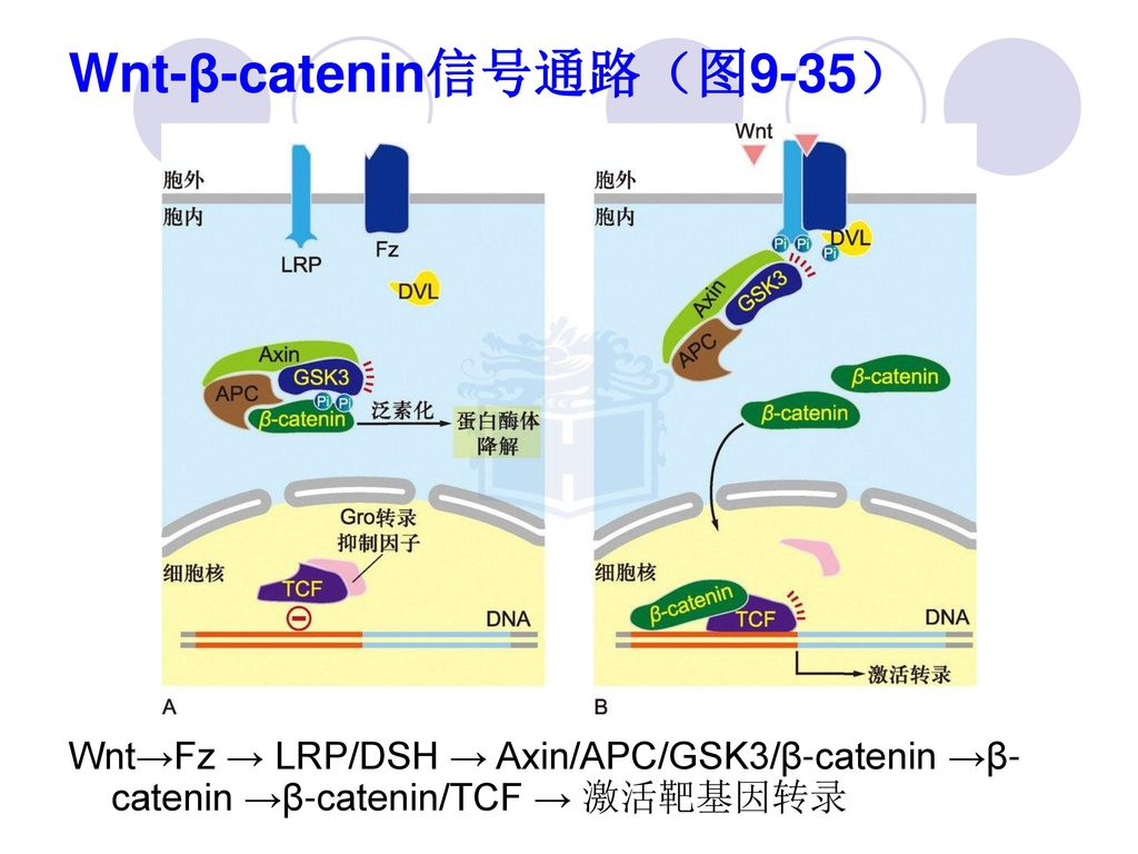 Wnt-β-catenin信号通路(图9-35)