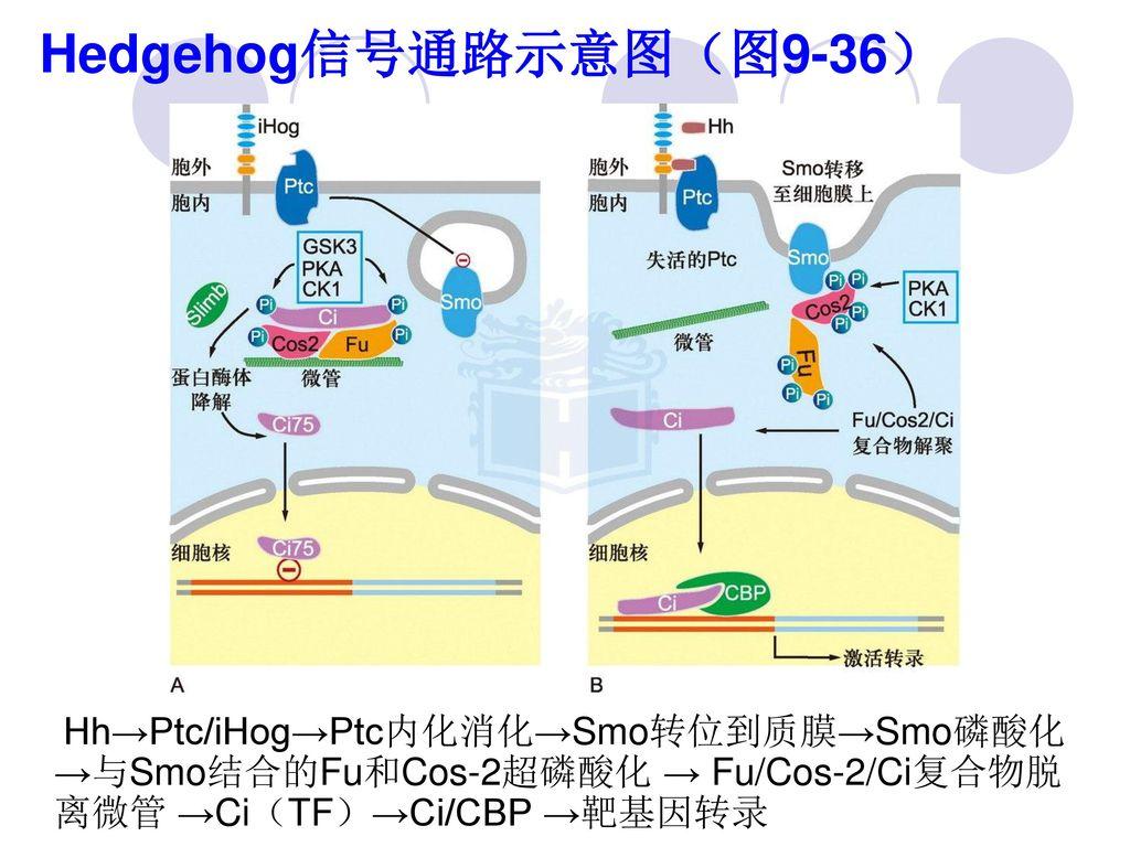 Hedgehog信号通路示意图(图9-36) Hh→Ptc/iHog→Ptc内化消化→Smo转位到质膜→Smo磷酸化→与Smo结合的Fu和Cos-2超磷酸化 → Fu/Cos-2/Ci复合物脱离微管 →Ci(TF)→Ci/CBP →靶基因转录.