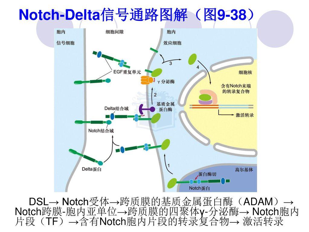 Notch-Delta信号通路图解(图9-38)
