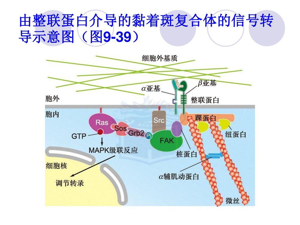 由整联蛋白介导的黏着斑复合体的信号转导示意图(图9-39)