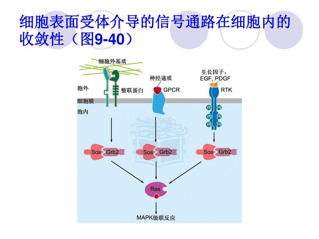 细胞表面受体介导的信号通路在细胞内的收敛性(图9-40)