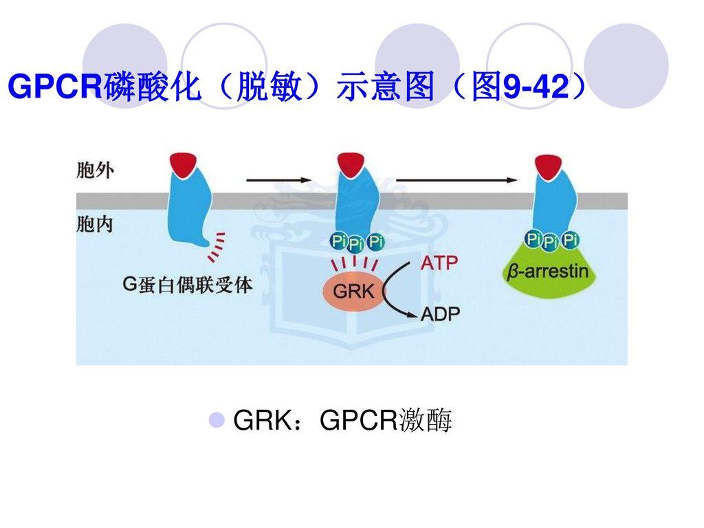 GPCR磷酸化(脱敏)示意图(图9-42) GRK:GPCR激酶