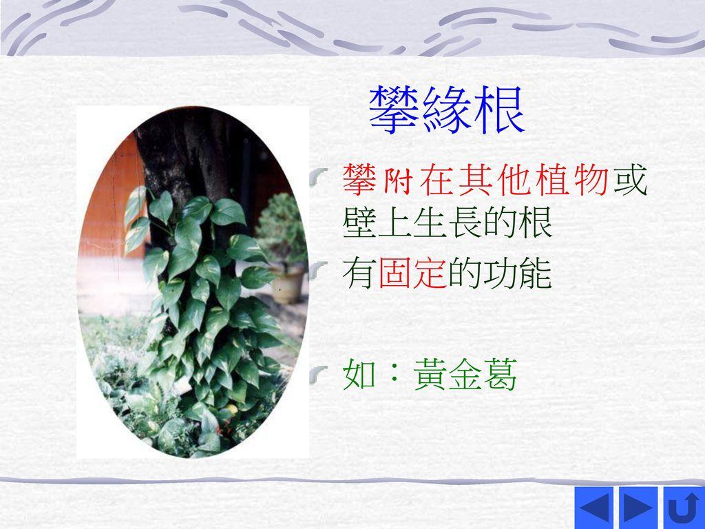 攀緣根 攀附在其他植物或壁上生長的根 有固定的功能 如:黃金葛