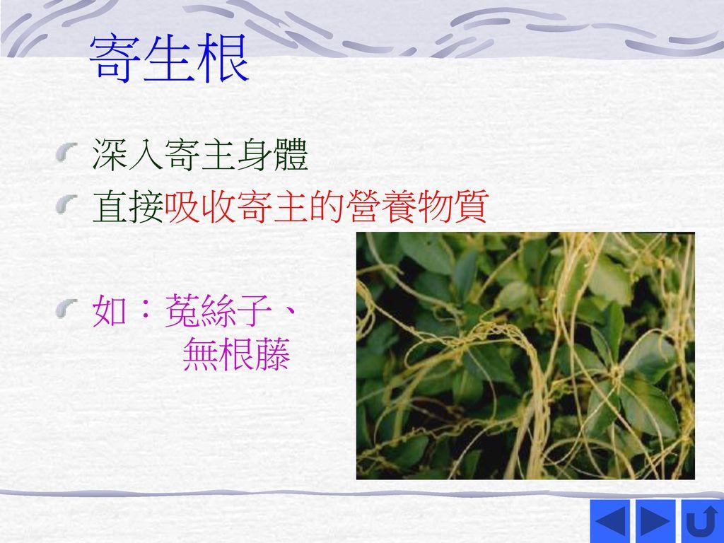 寄生根 深入寄主身體 直接吸收寄主的營養物質 如:菟絲子、 無根藤