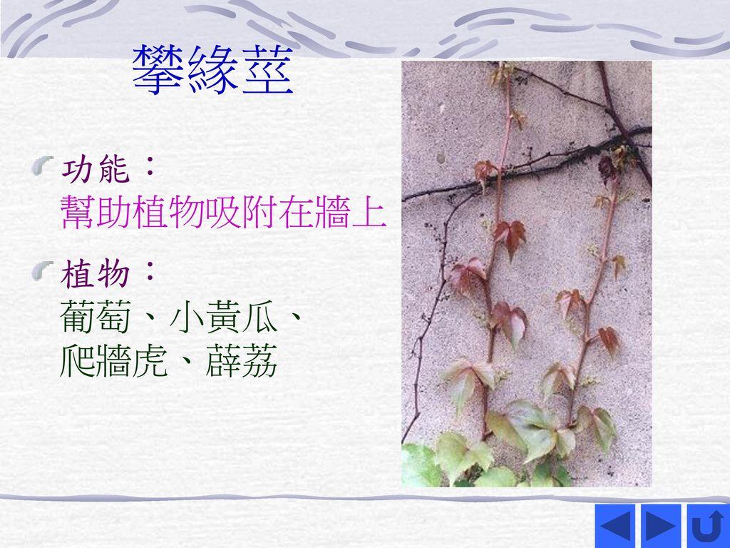 攀緣莖 功能: 幫助植物吸附在牆上 植物: 葡萄、小黃瓜、 爬牆虎、薜荔