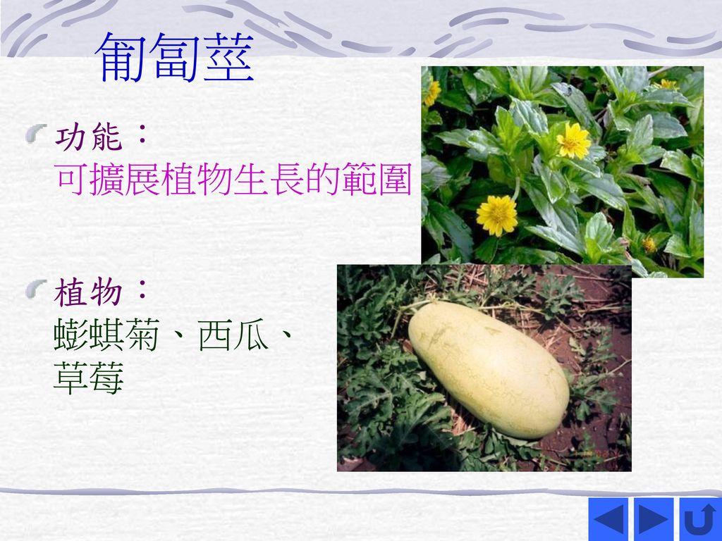 匍匐莖 功能: 可擴展植物生長的範圍 植物: 蟛蜞菊、西瓜、 草莓