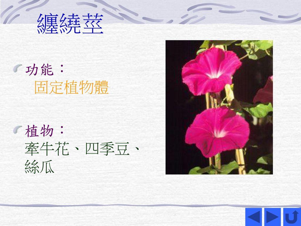 纏繞莖 功能: 固定植物體 植物: 牽牛花、四季豆、 絲瓜