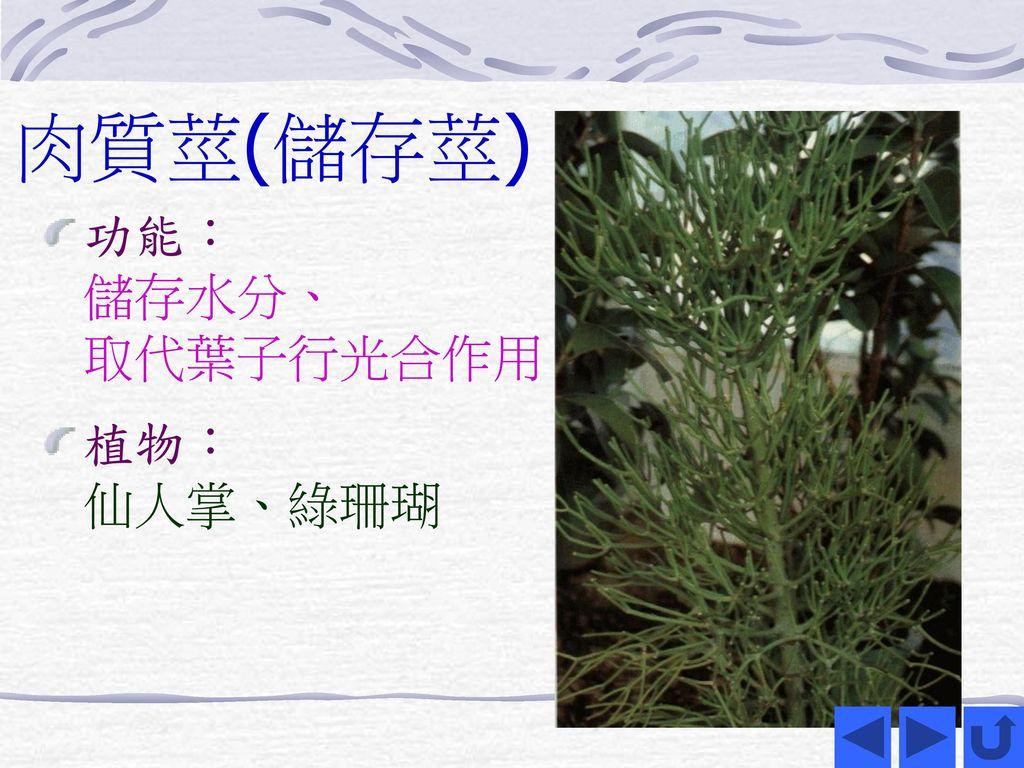 肉質莖(儲存莖) 功能: 儲存水分、 取代葉子行光合作用 植物: 仙人掌、綠珊瑚