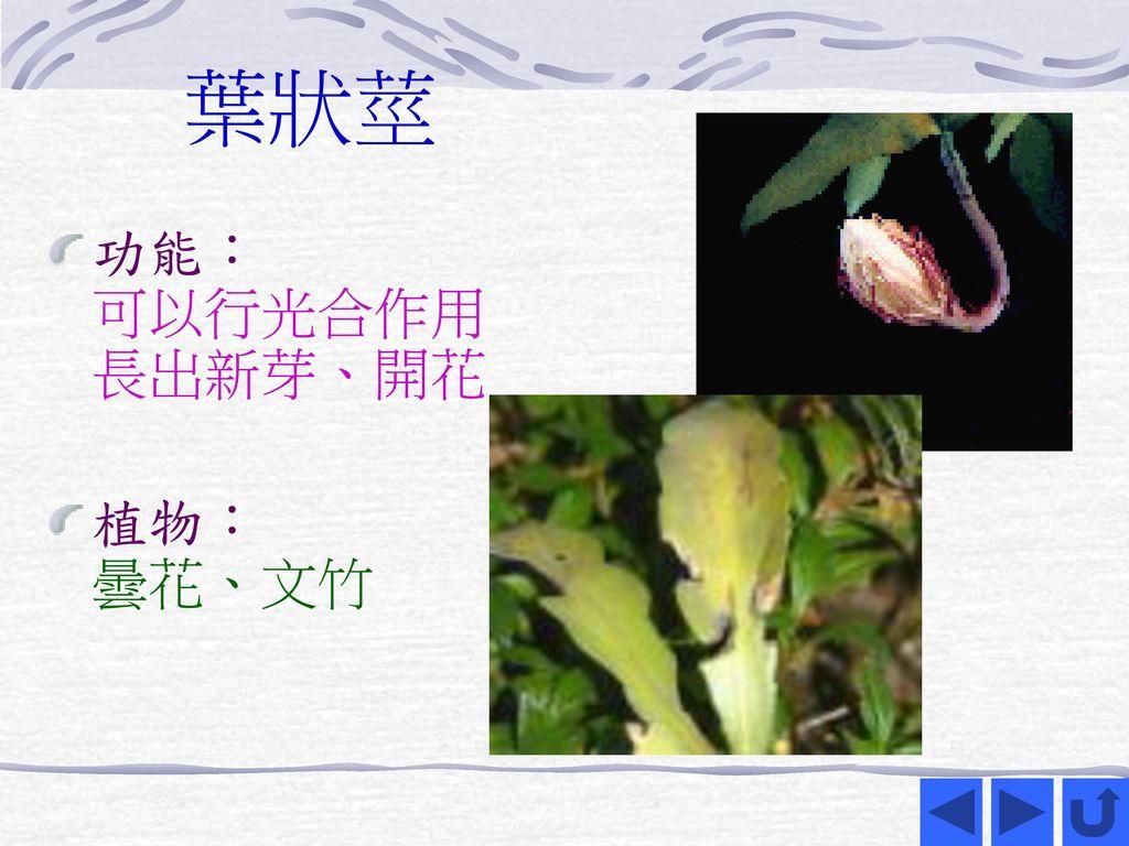 葉狀莖 功能: 可以行光合作用 長出新芽、開花 植物: 曇花、文竹