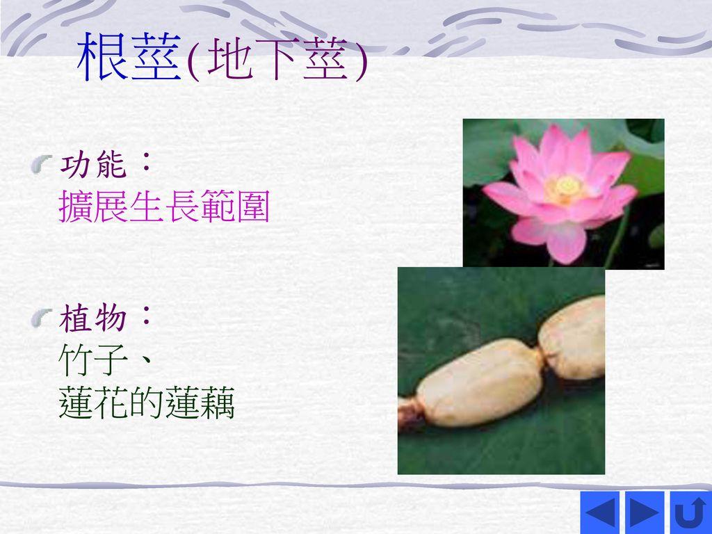 根莖(地下莖) 功能: 擴展生長範圍 植物: 竹子、 蓮花的蓮藕