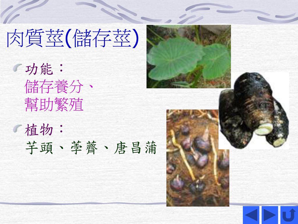 肉質莖(儲存莖) 功能: 儲存養分、 幫助繁殖 植物: 芋頭、荸薺、唐昌蒲