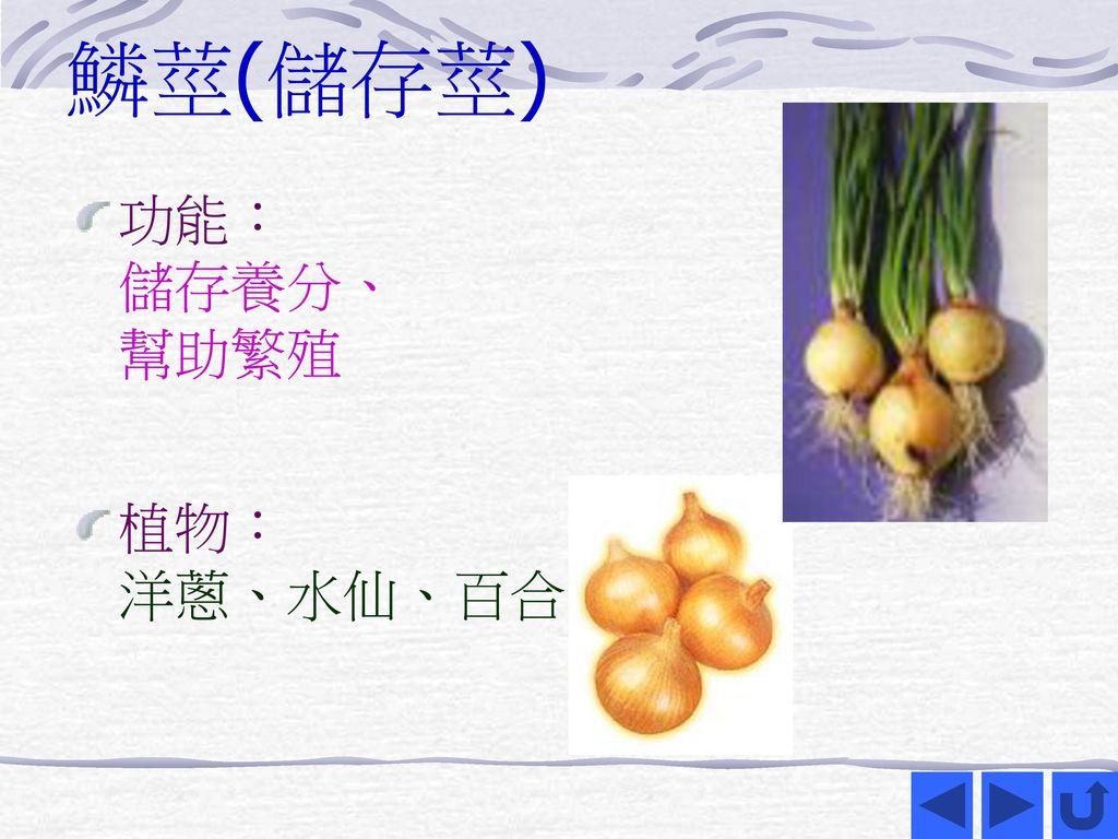 鱗莖(儲存莖) 功能: 儲存養分、 幫助繁殖 植物: 洋蔥、水仙、百合