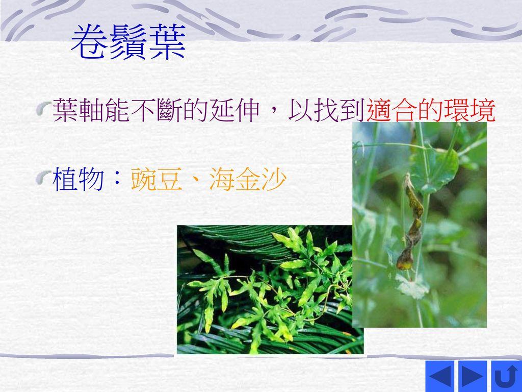 卷鬚葉 葉軸能不斷的延伸,以找到適合的環境 植物:豌豆、海金沙