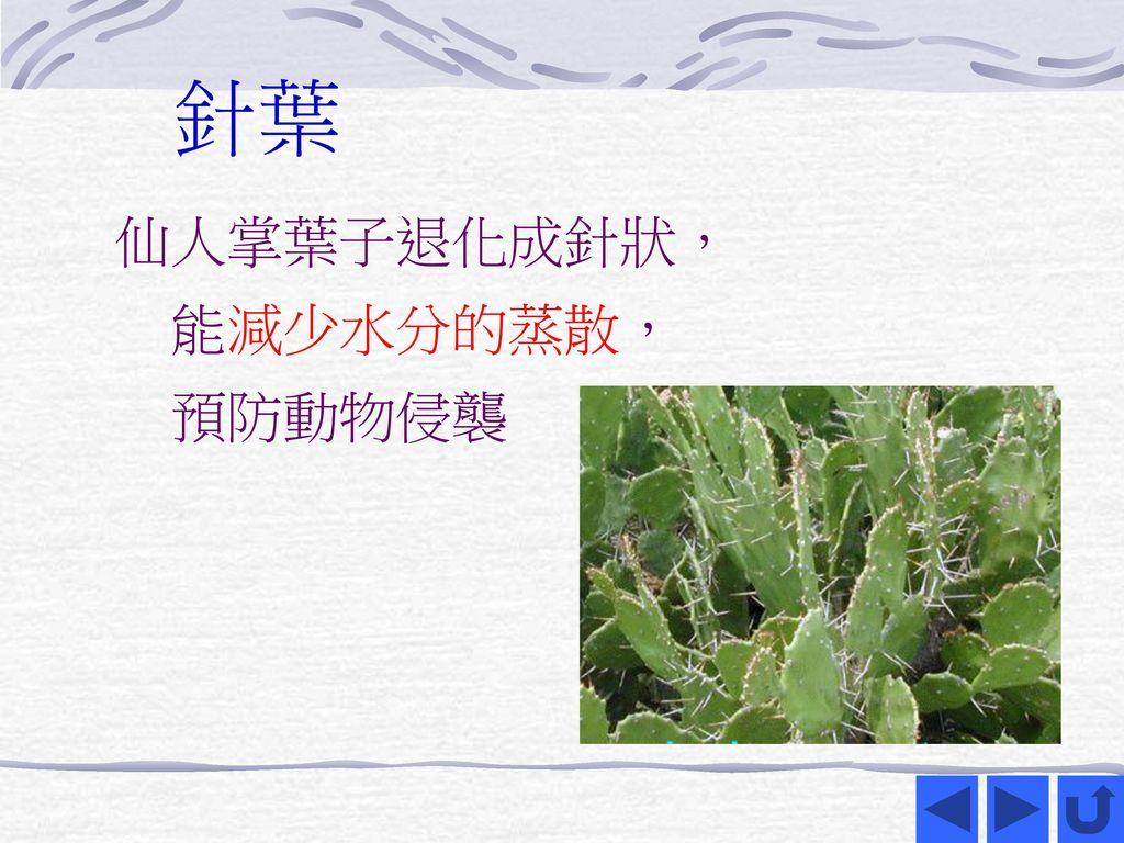 針葉 仙人掌葉子退化成針狀, 能減少水分的蒸散, 預防動物侵襲